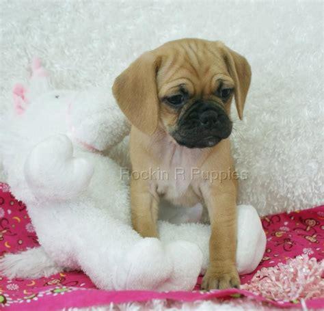 Pottery Barn Lap Desk Do Pocket Puggles Shed 28 Images Meet A Puggle Puppy