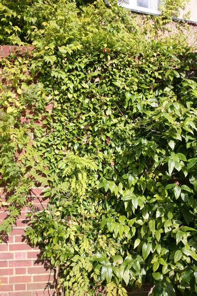 climbing plants for shade in pots buy climbing hydrangea hydrangea seemannii delivery by crocus