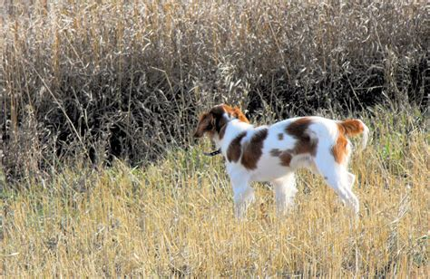 puppies for sale in minot nd spaniel breeds picture