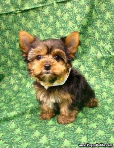 can you cut silky terrier hair short yorkie cuts for short haired silky puppy cut short hair