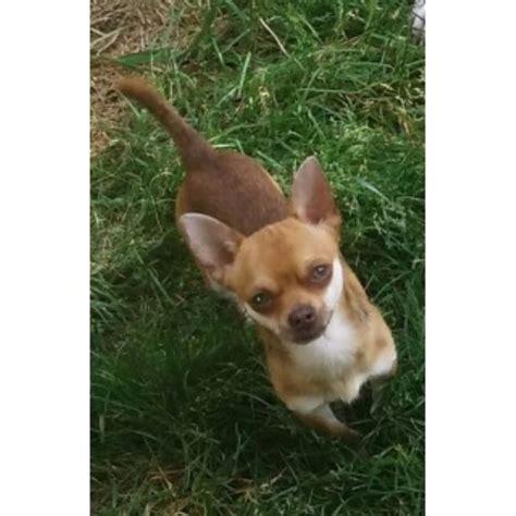 free puppies tacoma wa jones chihuahua stud in tacoma washington
