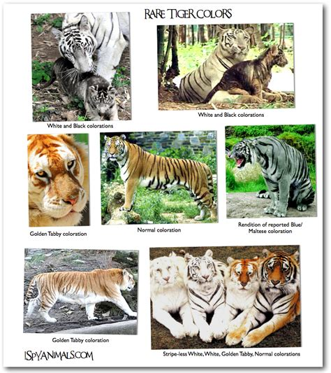 what are the different types of tigers living i spy animals i spy games in the animal kingdom