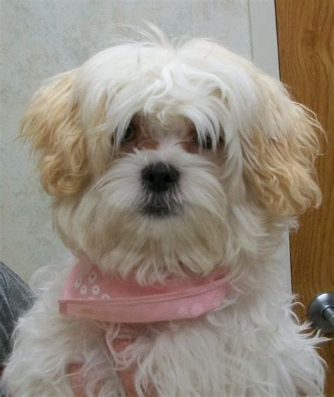 white shih tzu poodle mix white shih tzu poodle mix www imgkid the image kid has it