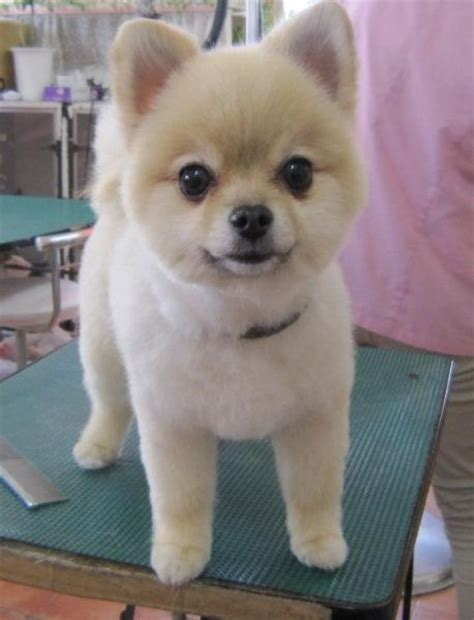 clipped pomeranian definitely would get this cut on a pom if i decided to get one pets