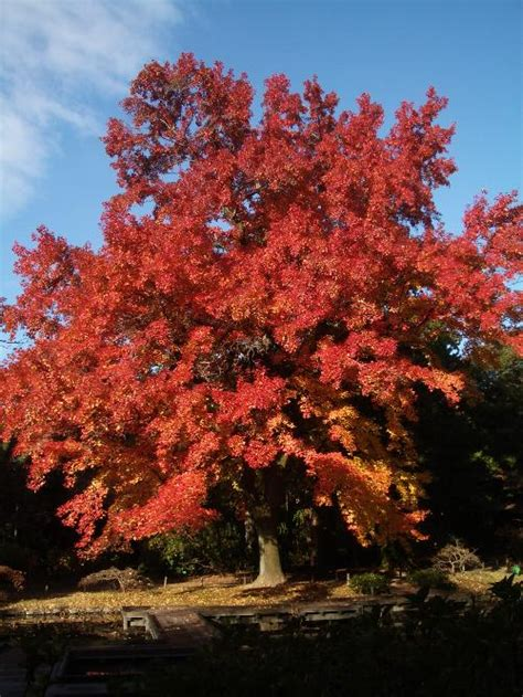 plane tree london perth wa  garden centre