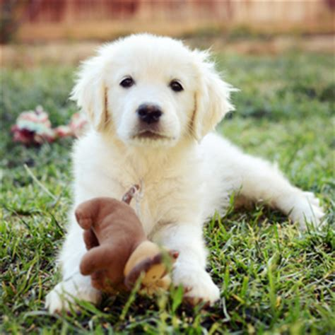 golden retriever puppies california golden retriever breeders southern california the bearden pack