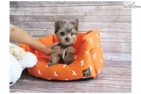 yorkie puppies orange county dash terrier yorkie puppy for sale near orange county california