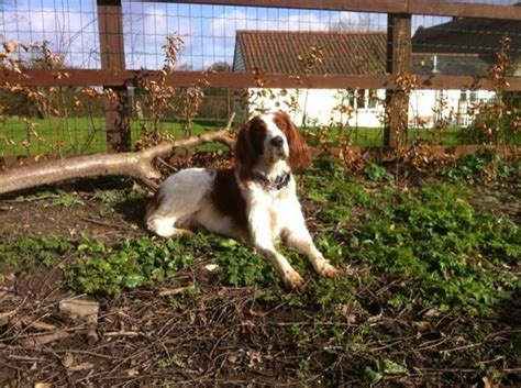 red setter dogs and puppies for sale irish red and white setter puppies for sale halstead