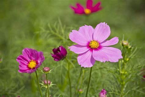 flower in the garden beautiful pink flowers in the garden photograph by
