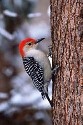 welcome woodpecker wisconsin natural resources magazine