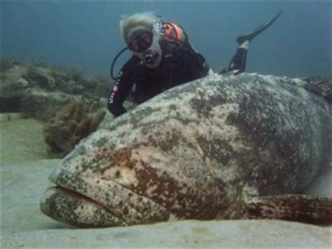 What Does 300 Square Feet Look Like fun fish friday atlantic goliath grouper sanibel sea