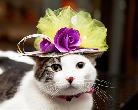 In Honor of the Royal Wedding   Cats in Hats   Life With Cats