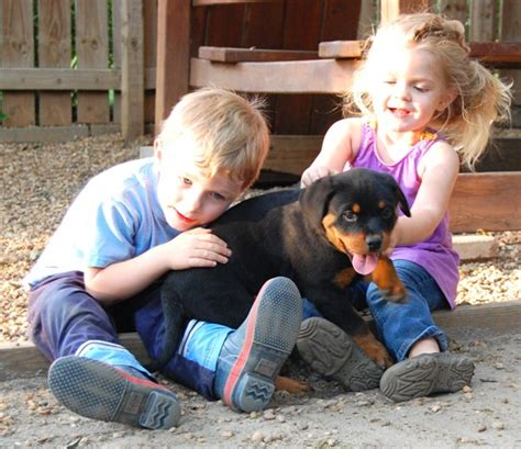 rottweiler puppies for sale in ms rottweiler breeders mississippi dogs in our photo
