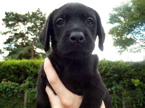 black lab puppy for sale kc registered black labrador puppies for sale dereham