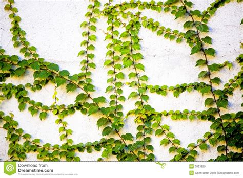 green vines on wall royalty free stock images image 2823959
