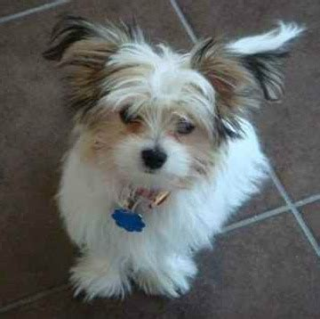 papillon cross shih tzu papastzu mix of papillon and a shih tzu