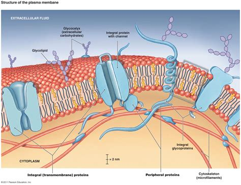 cross section of a cell membrane explain the fluid mosaic model with diagram of the