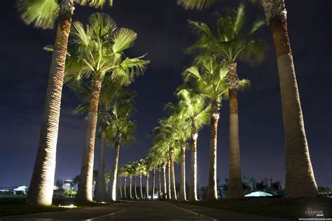 Outdoor Light Up Palm Tree Uplighting Landscape Palm Tree Row The Light Lights Outdoor Lighting And