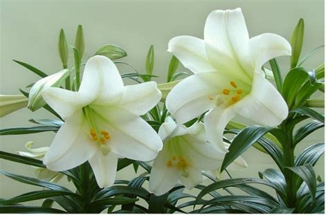 planting easter lilies in the flower garden farmers almanac