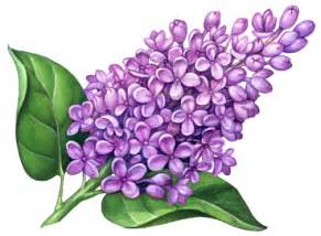 medicinal amp fragrance herbs stock art douglas schneider