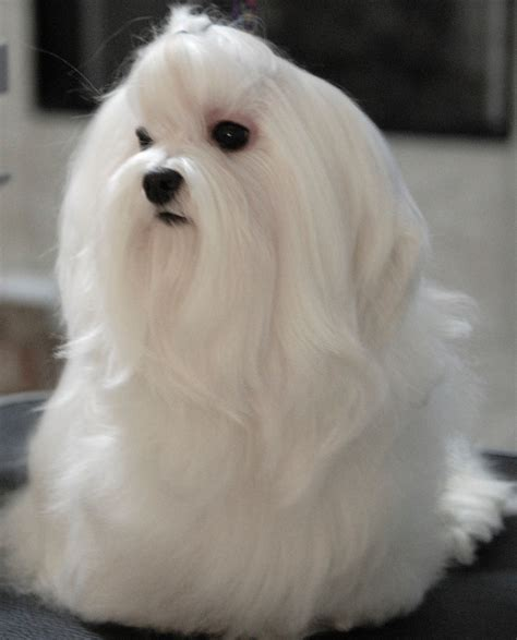 maltese dog cottony hair absolutely gorgeous but oh the maintenance i think