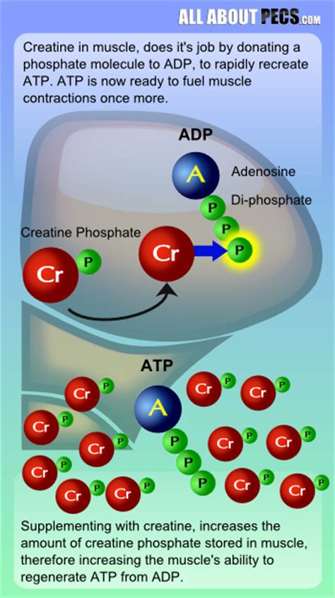creatine phosphate functions in the cell by allt du beh 246 ver veta om kreatin q a performance