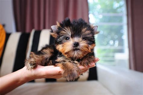 teacup yorkie breeders in teacup yorkie puppies dogtime