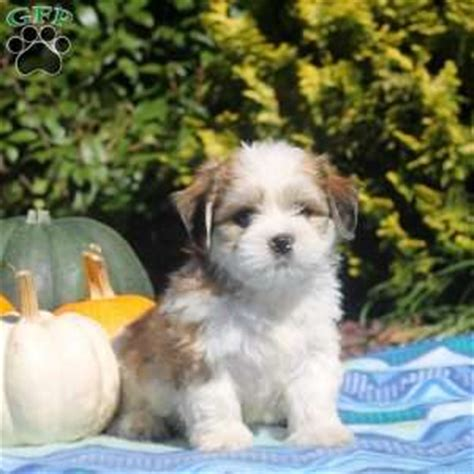 havashu puppies for sale havashu puppies for sale breed profile greenfield puppies