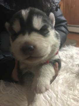 husky puppies for sale in ri 1000 ideas about husky puppies for sale on siberian husky puppies