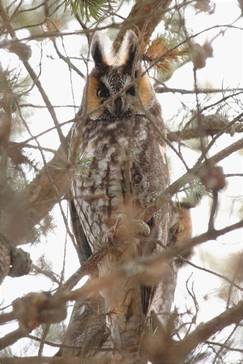 the owls of penn s woods pennsylvania ebird