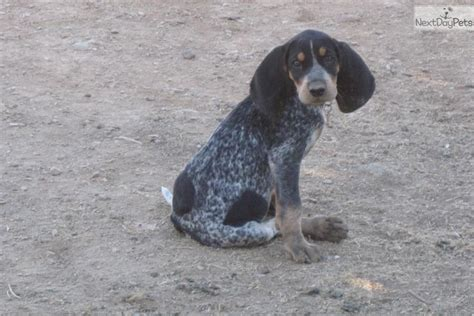 bluetick coonhound puppies for sale in bluetick coonhound puppy for sale near gold country california b457d824 e661