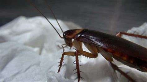 come eliminare scarafaggi in cucina minerva 2015 disinfestazioni ecologiche