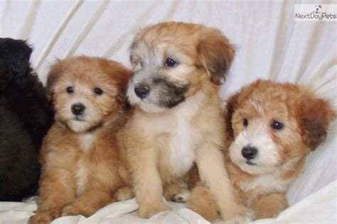 whoodle puppies for sale near me whoodle puppy for sale near los angeles california 66ce2950 d531