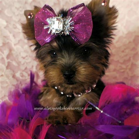 teacup yorkie puppies for sale 1000 images about just plain on teacup