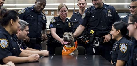 How Many Nypd Officers Are There by On Patrol Adoptable Cruelty Victim Gets Special Outing