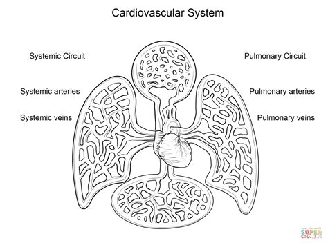 vascular anatomy coloring book cardiovascular system coloring page free printable