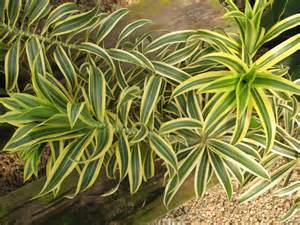 trees planet dracaena reflexa pleomele song of india
