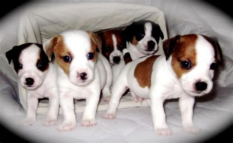 jrt puppies terrier terrier information 187 archive for general information