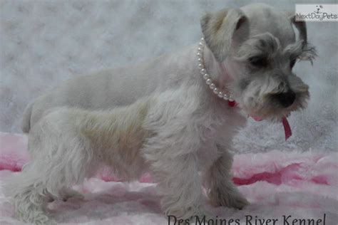 puppies for sale in st louis mo miniature schnauzer puppies for sale amazing akc miniature schnauzer breeds picture