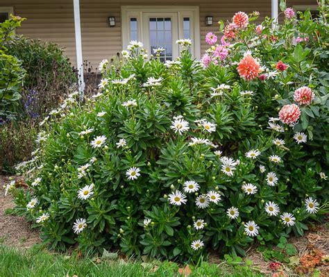 Best Shade Of Blue nipponanthemum nipponicum quot montauk daisy quot buy online at
