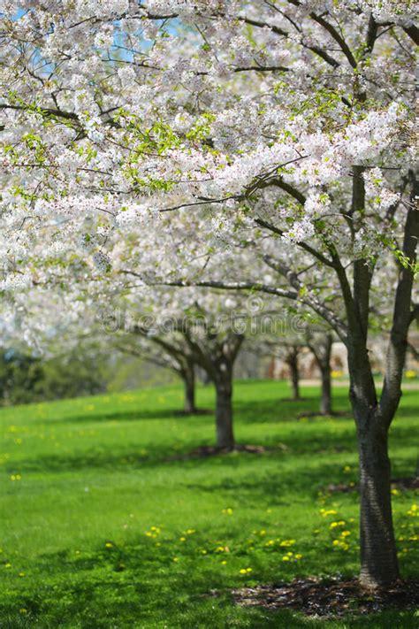 albero con fiori bianchi albero con i fiori bianchi della primavera della ciliegia