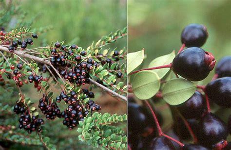 fruit tree nursery oregon luma apiculata landscape plants oregon state