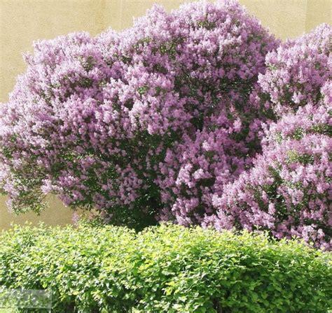 lilac flowering shrubs hungarian lilac syringa josikaea flowering shrubs and trees