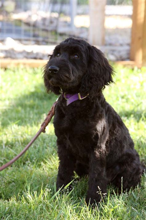 mini labradoodles rhode island mini labradoodles f1b family friendly and only 15 30 lbs
