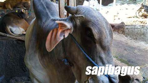 Jual Tepung Pollard promo jual pakan sapi konsentrat murah jakarta 2017