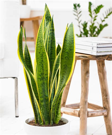 How To Make A Windowsill Buy House Plants Now Sansevieria