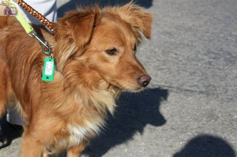 golden beginnings golden retriever rescue inc sheltie golden golden retriever mix for adoption breeds picture