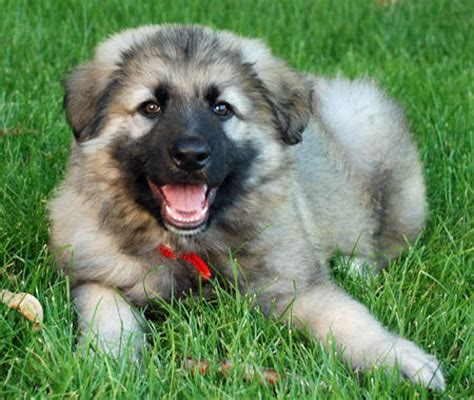 shiloh shepherd puppies for sale the shiloh shepherd puppies daily puppy