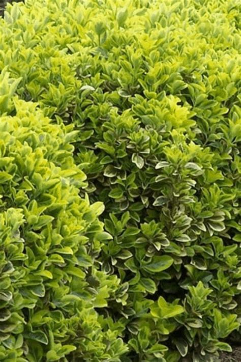 fast growing evergreen trees  shrubs fast growing