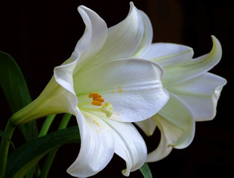 exclusively cats veterinary hospital blog killer lilies are a no no for kitties